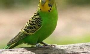 Грибок у волнистого попугая — причины и лечение