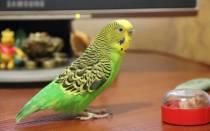 Отрастает ли хвост у попугая волнистого если вырвали