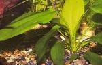 Эхинодорус горизонтальный: содержание, размножение, фото-видео обзор