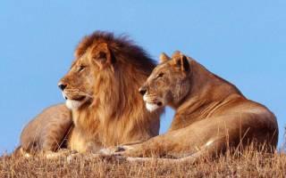 Львиная доля: физиологические особенности царя зверей