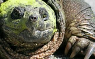 Каймановая черепаха кусающаяся: содержание, фото-видео обзор