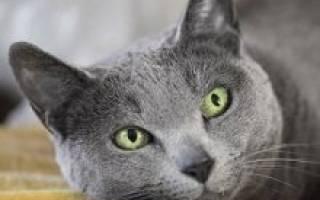 Русская голубая кошка: 12 фото, цена, описание породы, уход