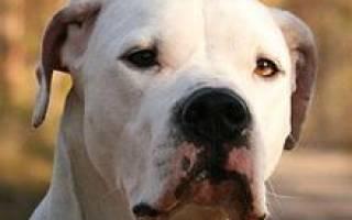 Описание породы собак Аргентинский дог с отзывами владельцев и фото