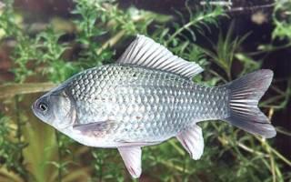 Карась серебряный — предок всех золотых рыбок