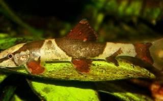 Рыба ящерица — Хомалоптера: содержание, фото-видео обзор