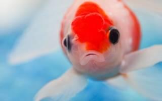 Что будет, если не отстоять аквариумную воду — газовая эмболия!