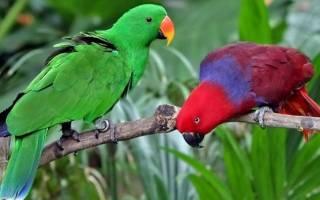 Ожереловый попугай как определить пол и возраст