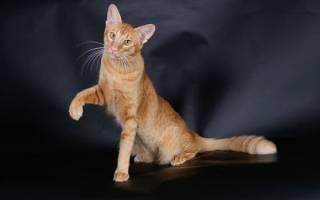 Яванез или яванская кошка: 25+ фото, описание породы, цена