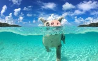 Необычный остров свиней на Багамах