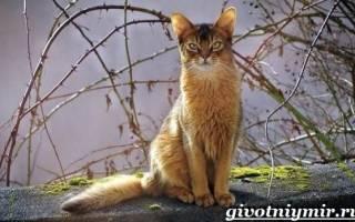 Сомалийская кошка: описание породы, характер, цена, 20 фото