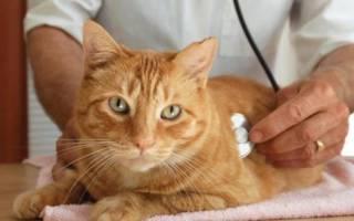 Панкреатит у кошек: симптомы и лечение, питание, профилактика в домашних условиях