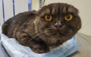 Кровь в моче у кошки, кота: причины и что с этим делать?