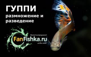 Все о размножении и разведении гуппи нерест в домашнем аквариуме