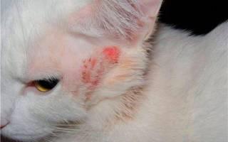 Власоеды у кошек: что это, симптомы, лечение дома и у ветеринара