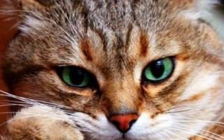 О чем думает кошка и что нам об этом известно?