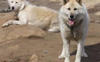 Гренландская собака: описание породы — Моя собака
