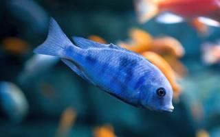 Голубой дельфин: содержание, совместимость, разведение, фото-видео обзор рыбки