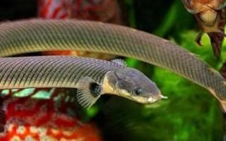 Каламоихт калабарский — аквариумная змея: содержание, совместимость, фото-видео обзор